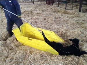 The Ultimate Calf Sled